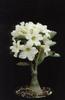 Adenium obesum hybrid white Adenium White Desert Rose White