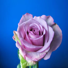 Supply High Quality Fresh Purple Rose Fresh Cut Flowers