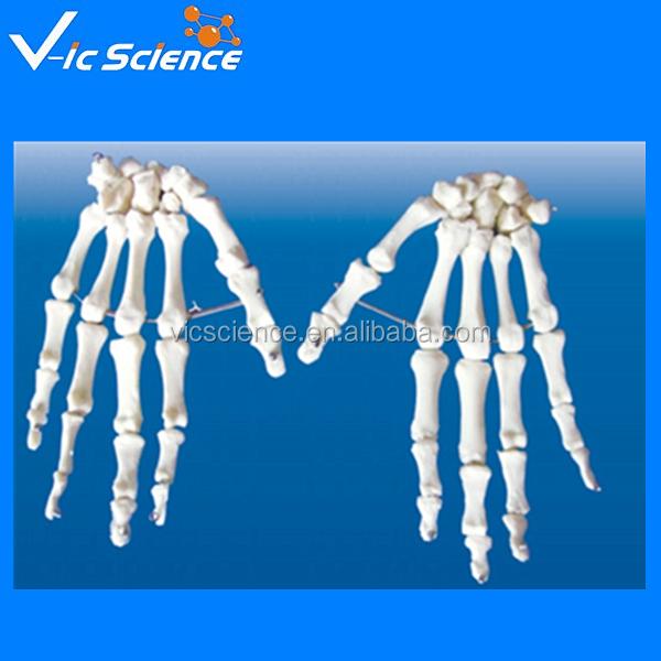 Life Size Anatomical Skeleton Handhand Bone Modelhuman Skeleton