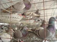 Mejor venta paloma de cría jaula jaula / racing pigeon cageHJ-PC24