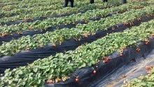 SAP,super absorbent polymer water absorbing gel suitable plant, crop, grass, fruit,tree,flower
