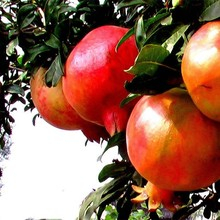 Pure Natural Pomegranate Peel Extract