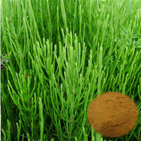 Plant Extraction Manufacturer Supply with Horsetail powder, Equisetum arvense extract powder, Silica 7%