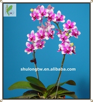 Petite Noble Red Harlequin Phalaenopsis Tissue Culture Flask Seedlings Taiwan Orchid Nursery Small Orchid Flask
