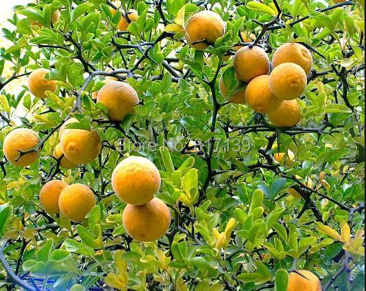 seeds Trifoliate Orange Poncirus trifoliata 20