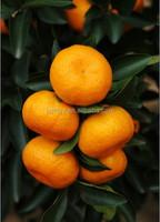 Wholesale Nanfeng Fresh Baby Mandarin Orange