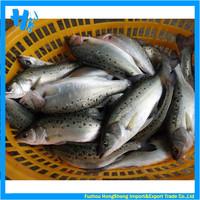 New season frozen seabass good sale for your market