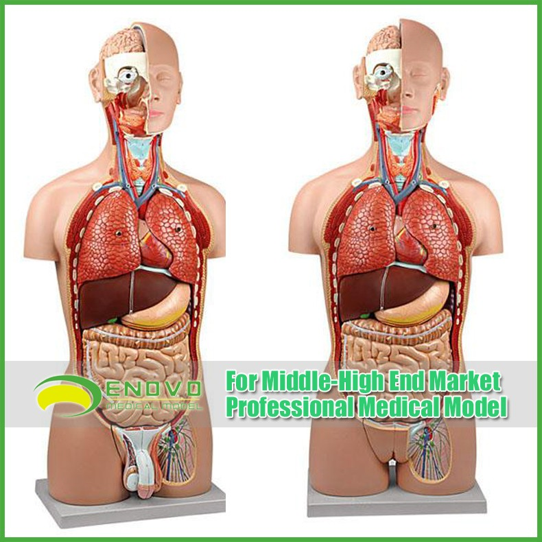 Teaching Models Plastic Human Torso Anatomy With Removable Organs