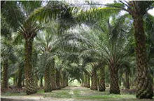 INDONESIAN CRUDE PALM OIL