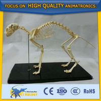 Cetnology Biomedical Medical teaching/lecture model cat skeleton