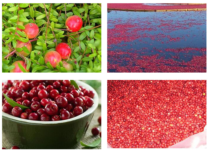 Biggest Supplier of Pure Cranberry Extract,Kosher Halal Certificate,100% U.S.A Imported Vaccinium Macrocarpon Origin