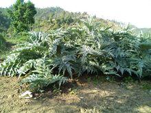 Top Quality Cynara Scolymus, Best Herbal Medicine Artichoke Extract, Cynara Cardonculus