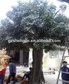 La planta de las plantas al aire libre de interior de la planta de árboles de ficus, antiguo banyan tree