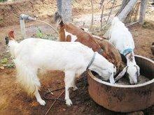 Qurbani Goats, Bull, Cows, Chicken