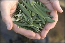 Olive Dry Leaves
