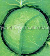 Choosen top quality F1 Cabbage Seeds MHcabbage00036