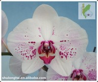 """White Red-Lip Phalaenopsis Orchid Plant in 2.5"""" or 9 cm Pot Taiwan Orchid Nursery Live Phalaenopsis Orchids"""
