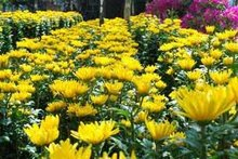 Fresh Cut Chrysanthemum Flower