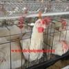 120 birds 3 tiers bird chicken layer cage