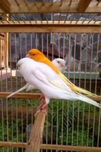 Live Yorkshire Canary - Lancashire Canary Birds and Others Live Birds