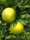 supply fresh lemon fruit from vietnam with best price and hight quality