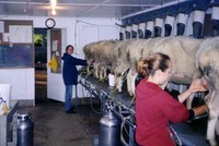 Livestock Product Type and Alive Style Milk sheep Assaf