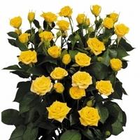 Yellow Spray Rose Marisa