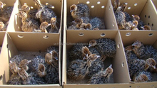 Ostrich Chicks for sale