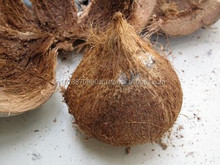 cheap price matured coconuts for qatar