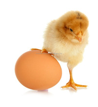 Probiotics that helps to provides good immunity during pregnancy of hens