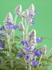 Factory Supply Organic Clary Sage Oil