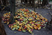 quality Cocoa beans for export at good price