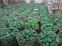 Mango from surabaya, Indonesia