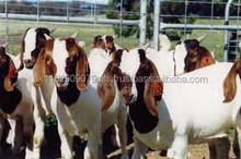 100% Full Blood Boer Goats,live Sheep, Cattle, Lambs Ready for export