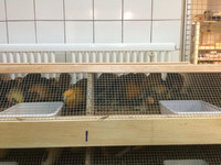 Finches, Lady Gouldian Finches, Live Canary Birds