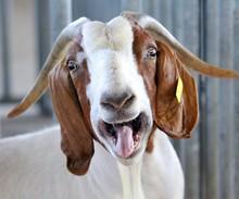 Live Sheep, Awasi sheep, lamb and Full Blood Boer Goats
