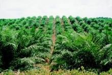 Palm oil garden for sale 43.2 acre/1.5 m USD