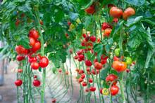 Magic Gro Plus for Efficient Tomato Farming
