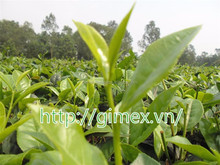 GIMEX VIET NAM HIGH QUALITY BLACK TEA