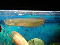 Golden Arowana Asian Arowana Red Arowana Fish For Sale !!! Top Supplier !!!
