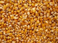 Yellow Corn in Bulk For Sale Both For People Consumption and Animal Feed Quality and Dried Yellow Maize/Corn For Animal Feed