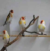 All Live Canary Birds; Finches, Yorkshire, Lancashire, Love Birds Canaries