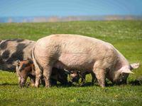 Probiotics for pigs