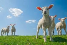 Hala Sheep Meat certified