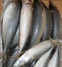 Frozen Mackerel jack/Horse/Pacific/Atlantic Fish.