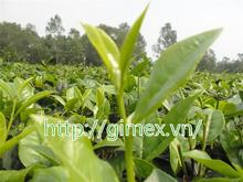 viet nam green tea and black tea