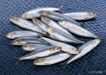 Frozen Mackerel, Bonito, Tuna, Horse Makerel Sardine