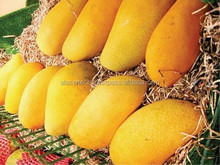 Pakistan Fresh Mangoes Farm Fresh Mangoes Best Sindhri Organic Mango