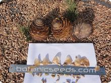Cedrus deodara seeds from Himalaya Mountains Pakistan