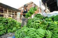 cavendish banana good quality -- fresh and green color in Vietnam